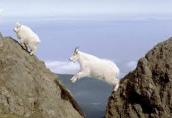 Mnt Goat