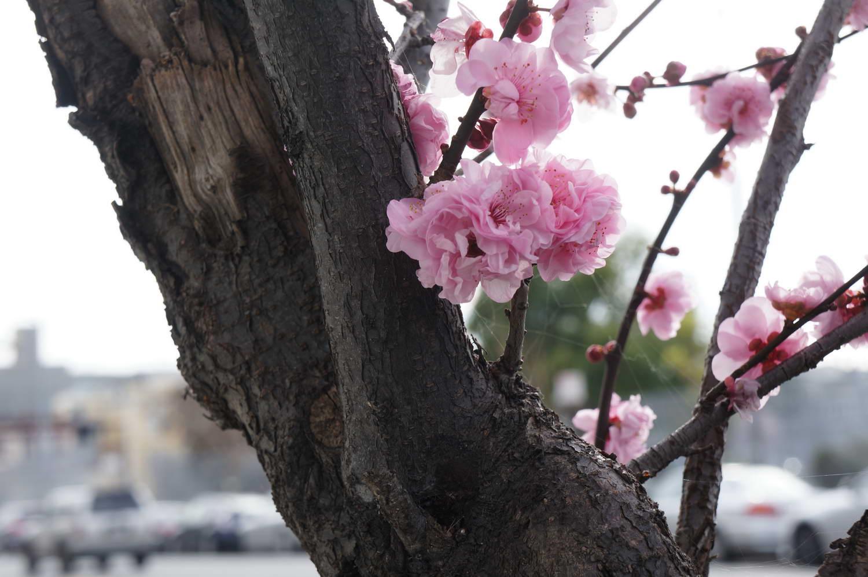 S.F. Plum Blossom